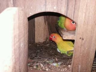 Ciri-Ciri Lovebird Mengerami Telurnya