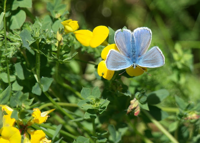 Adonis Blue Butterfly College Lake Wildlife Reserve