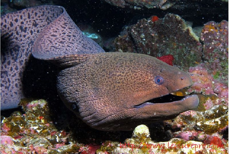 Gambar, Foto  Belut Laut Moray Dan Belut  Conger Dari Berbagai Samudra-Giant Moray