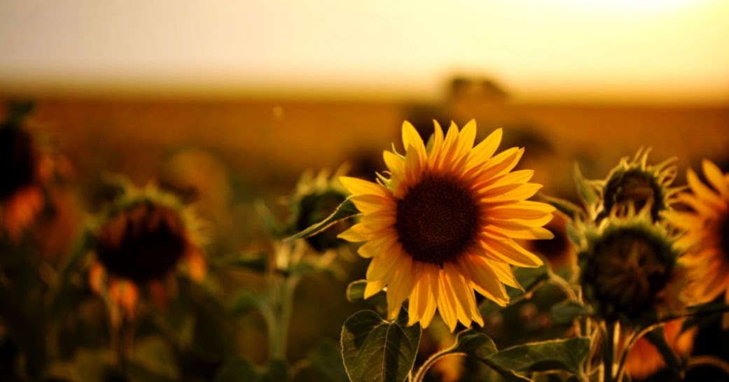 Sunflower Photography Tumblr | Best HD Wallpapers