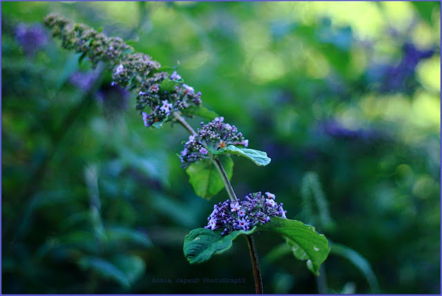 purple, blue, green,  Summer light © Annie Japaud Photography 2013