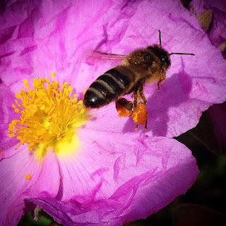 La inteligencia es la capacidad de entender  y de comprender. Y nosotros a las abejas,  como a todos los demás insectos,  no las entendemos ni las comprendemos.
