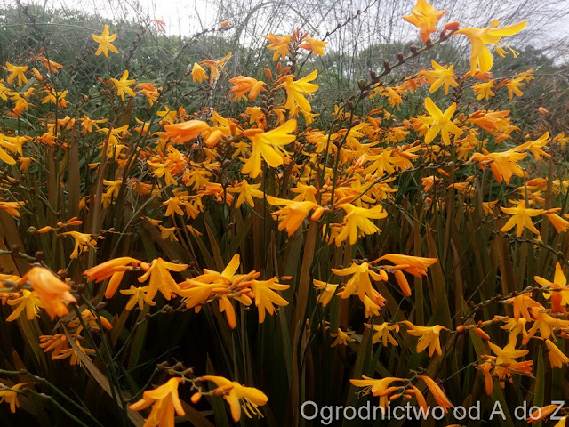 Krokosmia ogrodowa, Montbrecja, Cynobrówka, Crocosmia
