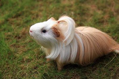 Silkie Guinea Pig Baby