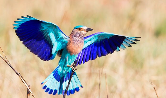 Fortune Creator Neelkanth Indian Roller Bird | Education And Information Technology ...