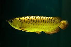 Arwana Cross Back Golden, Salah Satu Jenis Ikan Arwana