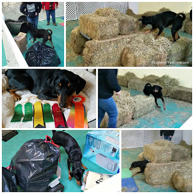 doberman barn hunt ratting dog sports
