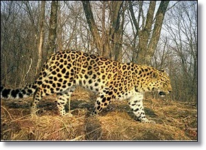 Picture of Amur Leopard
