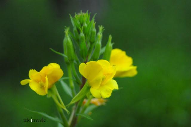 oenothera biennis, jadalne kwiaty, rośliny łąkowe, common evening-primrose