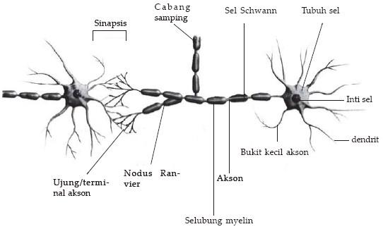 Neuron (sel saraf)