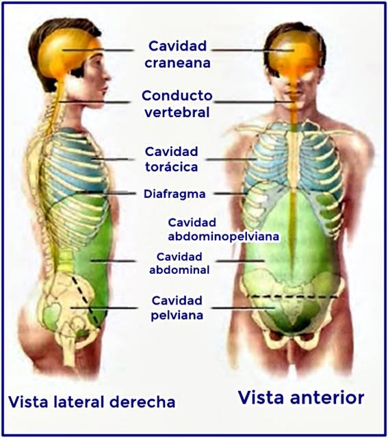 Vista anatómica lateral y anterior de las cavidades corporales