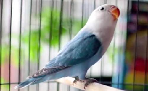 Kumpulan Beragam Gambar Cara Mengatasi Lovebird Macet Bunyi Atau Ngekek Dengan Terapi Sederhana Terbaru Beserta Suara Gacor Atau Ngekek Durasi Panjang Mp3 Dan Harga Termahalnya