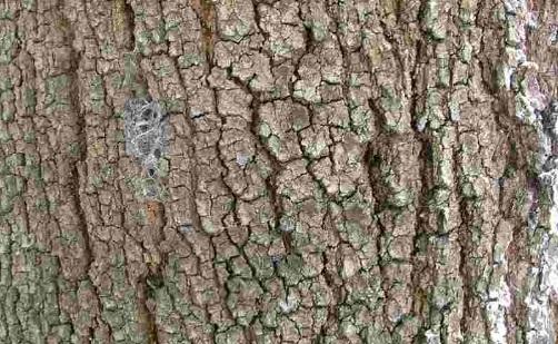 batang tanaman cemara udang