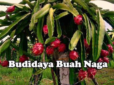 Tips Sederhana Budidaya Buah Naga