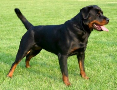 Top ten Most dangerous breeds of dogs in the world