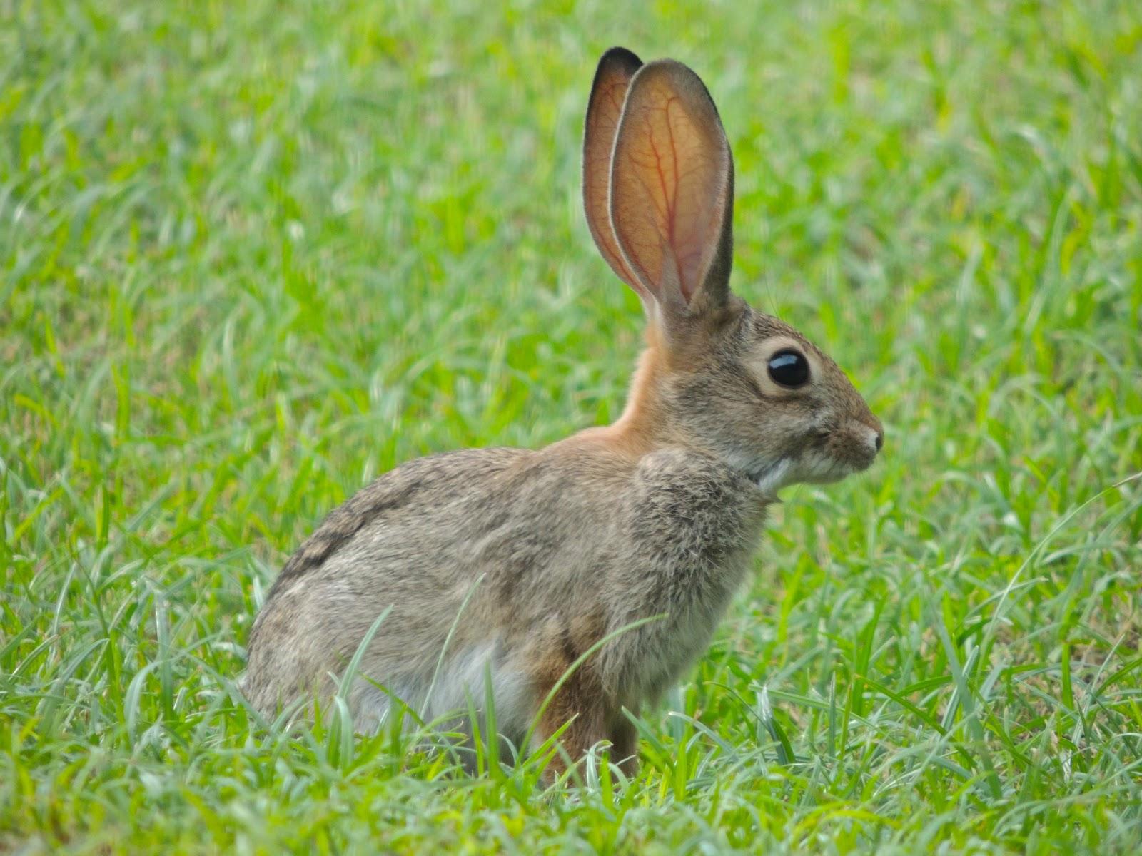 Scottsdale Daily Photo: Photo: Backyard bunny