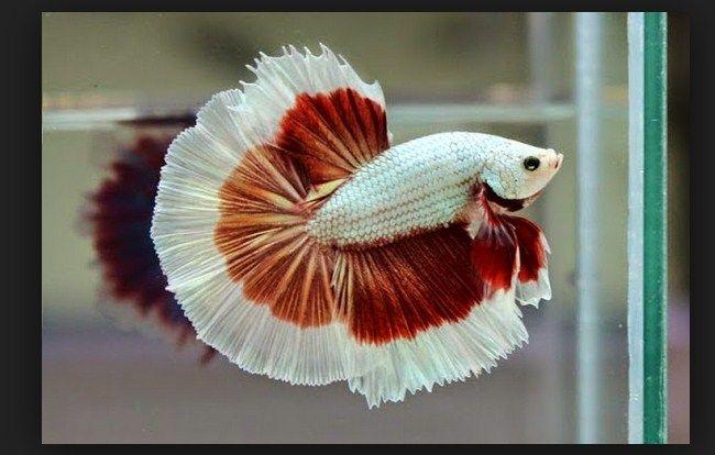 Ikan Cupang ( Betta sp )