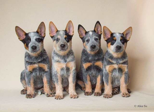 Modish BUGARI FCI Australian Cattle Dogs - Ewa Osuch: Miot w USA po Alli RH09