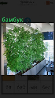 В помещении растет бамбук в горшках около окна