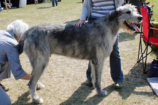 Also one of the tallest breeds in the world, these dogs can reach upwards of 32 and 36 inches in height and typically weigh around 150 pounds. These dogs are thin in appearance and are described as having 'great size and commanding appearance'. Originally bred to hunt wolves, the Irish Wolfhound is extremely friendly, energetic, and even-tempered, making them a great family pet. While their appearance can be intimidating (they may reach 7 feet tall when standing on their hind legs!) these dogs are patient and sweet, but may only live up to 10 years.