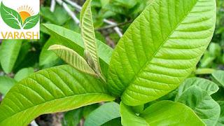 Khasiat daun jambu biji untuk diare
