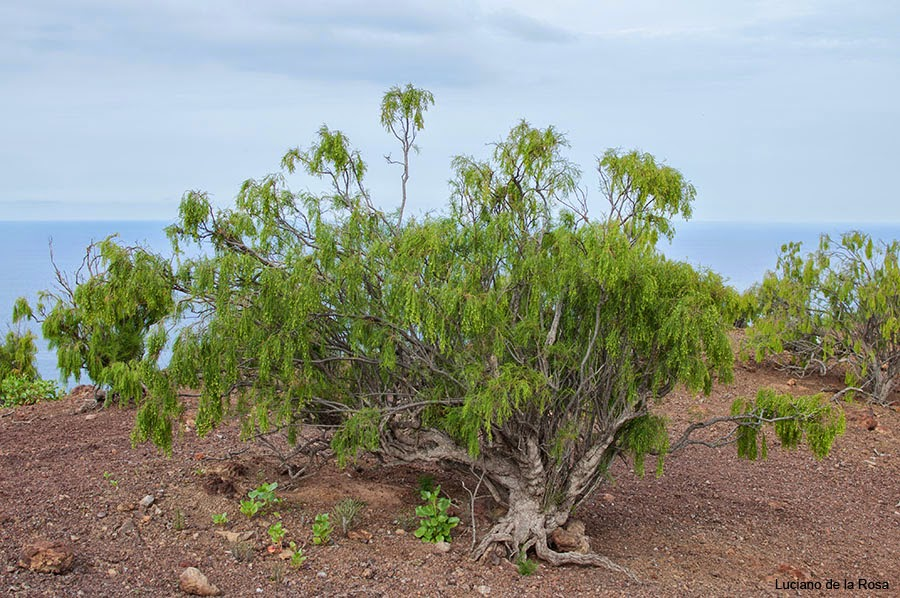 Arbusto muy abundante en Montaña Grande y que se encuentra entre las especies vegetales más grandes de la zona.