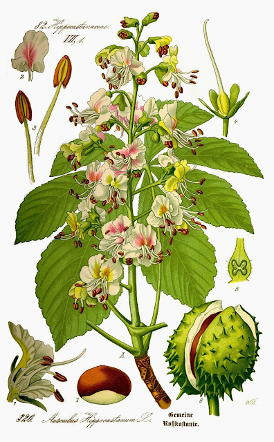 Horse Chestnut  is Commonly Used to Treat Varicose