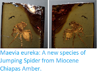 http://sciencythoughts.blogspot.co.uk/2017/09/maevia-eureka-new-species-of-jumping.html