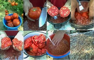 extragerea si selectia semintelor de tomate