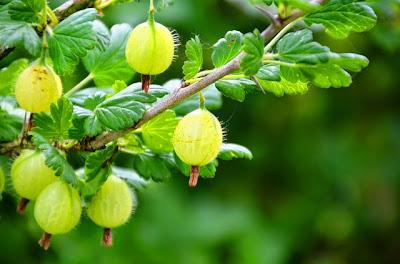Benefits of Gooseberry