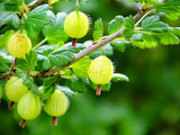 7 Benefits of Gooseberry for Healthy Life