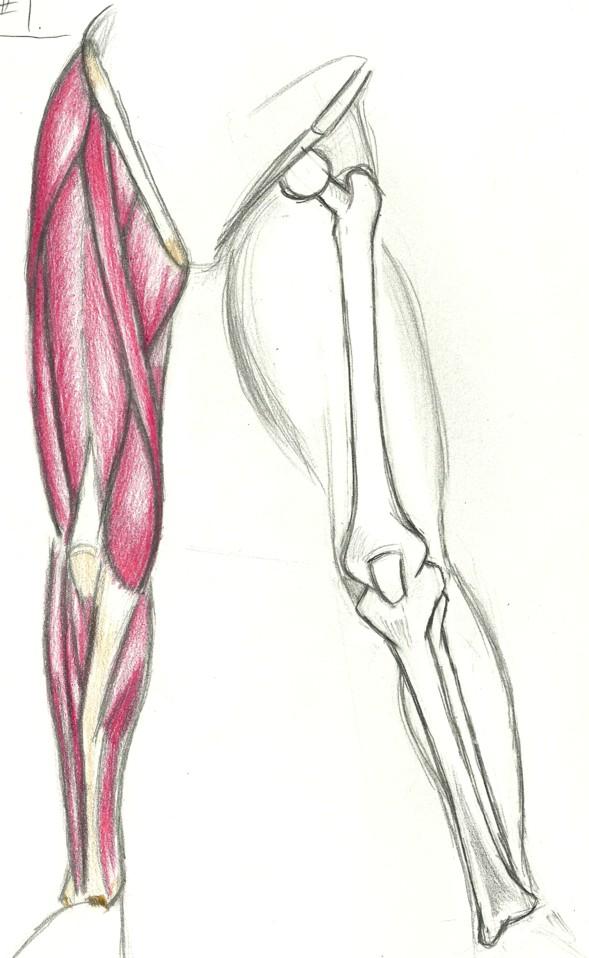 leg muscles drawing - photo #15