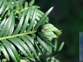 Galle en artichaut sur Taxus baccata porvoquée par Taxomyia taxi