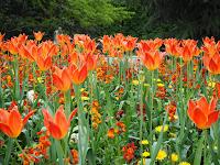 Tulipes al Jardí de Luxemburg (París) per Teresa Grau i Ros