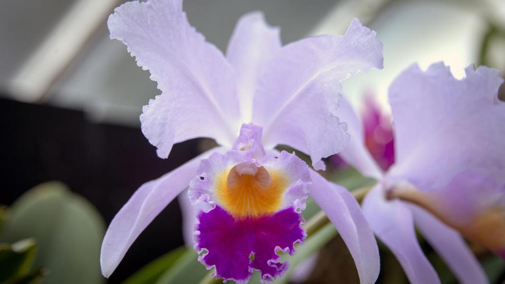 orquídea de colombia en color azul, amarillo y rojo