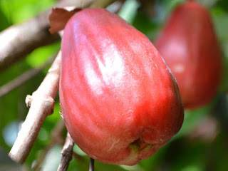 Malay Apple Fruit pictures