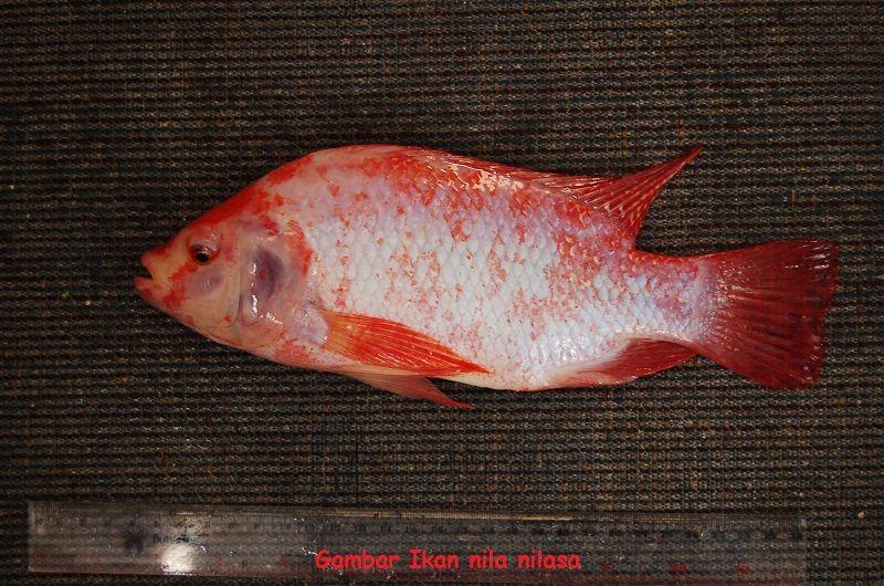 Jenis Ikan Nila - Ikan nila nilasa