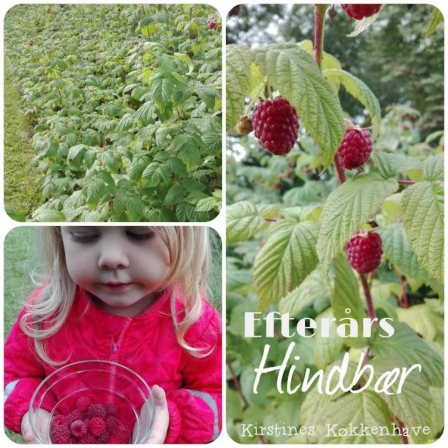 høsttid for efterårshindbær