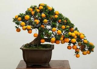 bonsai buah jeruk