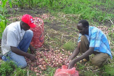 Bagging up onions in Africa