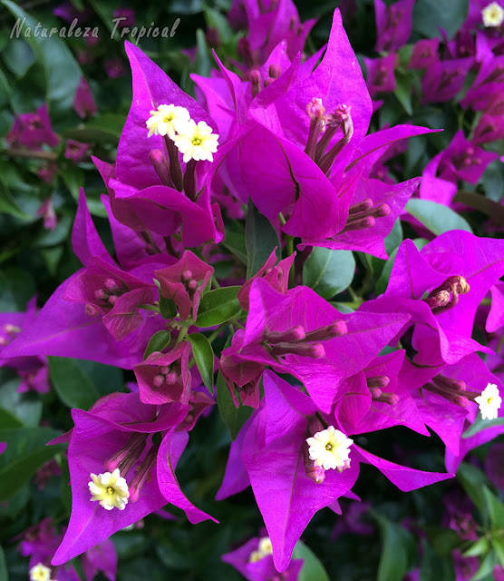 Brácteas violetas de una Buganvilla o Flor de Papel, género Bougainvillea