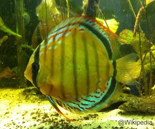 Spesies Ikan Discus S. tarzoo