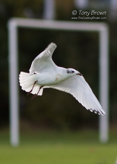 Med Gull, 2nd-winter
