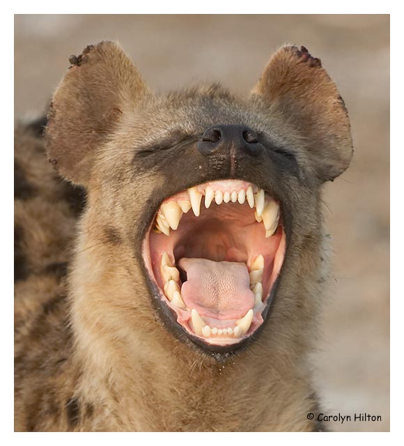 meet them at the door laughing hyena