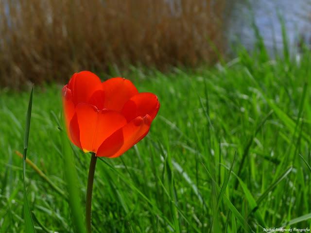 Tulipan kwiat warszawa siekierki