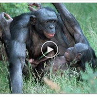 WATCH A VERY WONDERFUL VIDEO OF GORILLAS HAVING SEX HERE,,AIM SURE YOU WILL ENJOY TO THE MAXIMUM
