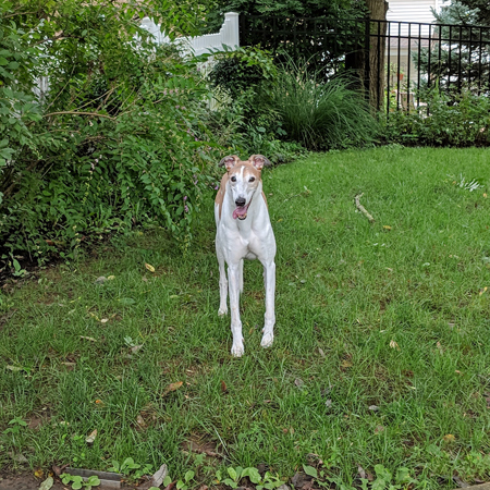 image of Dudley the Greyhound stading in the backyard, grinning