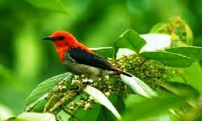 Burung Kemade Citbang atau biasa disebut talokan
