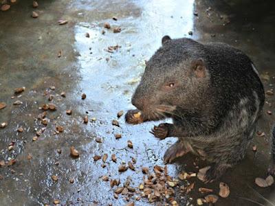 Conheça o Pacarana - animal que faz sucesso na internet