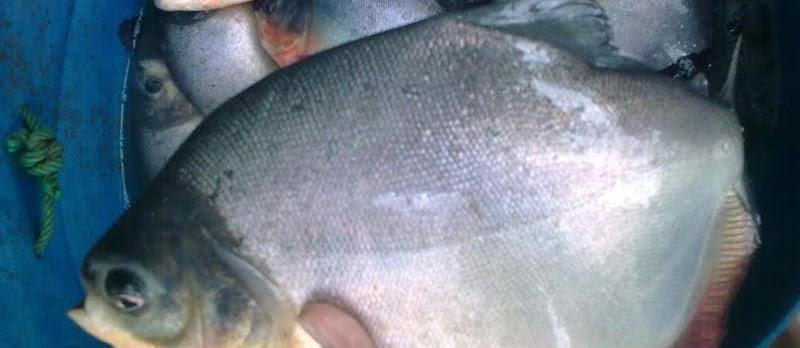Panduan Lengkap Pembenihan Ikan Bawal